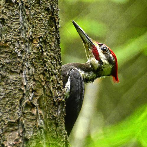 The Recorder Speaking Of Nature The Pileated Woodpecker