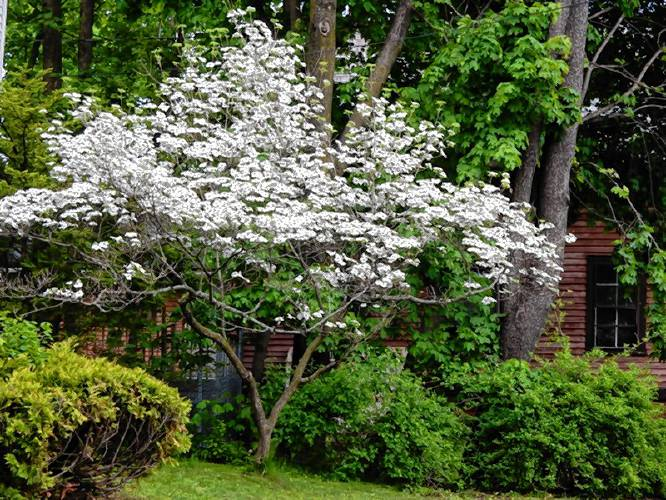 The Recorder Between The Rows Loving The Dogwood