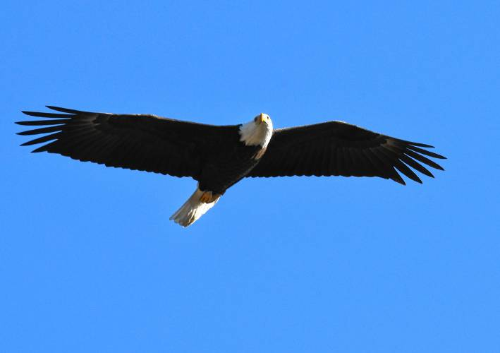 Bald Eagles Monitored By Tracking Devices Have Been Found To Travel 100 125 Miles In A Single Flight