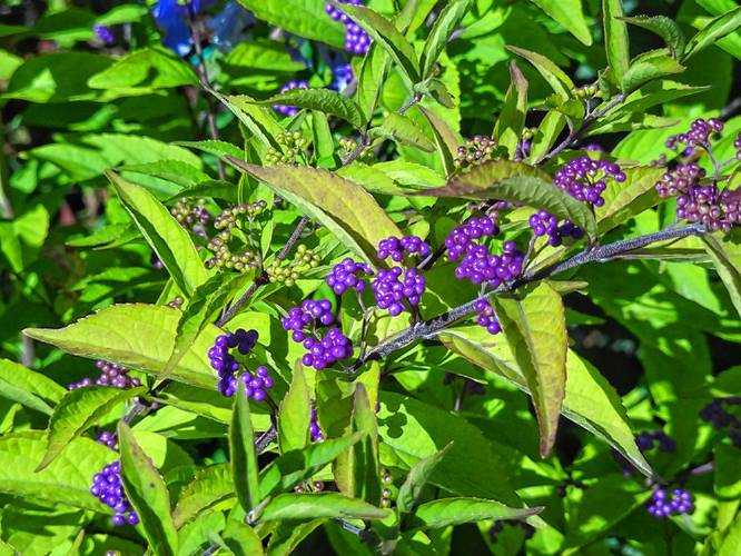 The Recorder Between The Rows Shrubs Offer Flowering Longevity