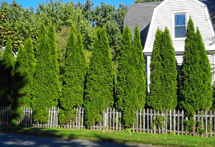The Geometry Of More Arborvitae Is A Beautiful Thing Are For In Nurseries Diffe Prices Depending On Age And Size