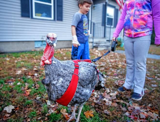 Pet Turkey