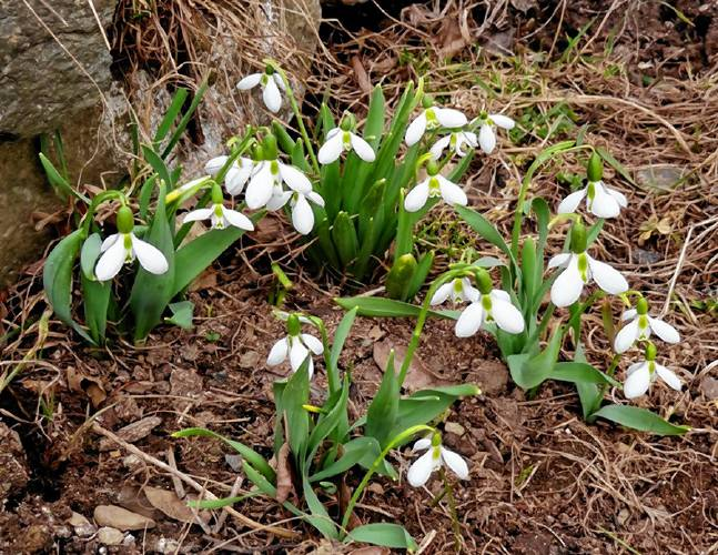 The Recorder Early Spring Bloomers
