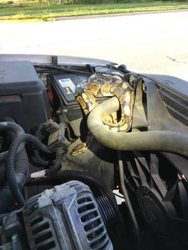 The Recorder Woman Raises Hood To Find Engine Gripped By A Python