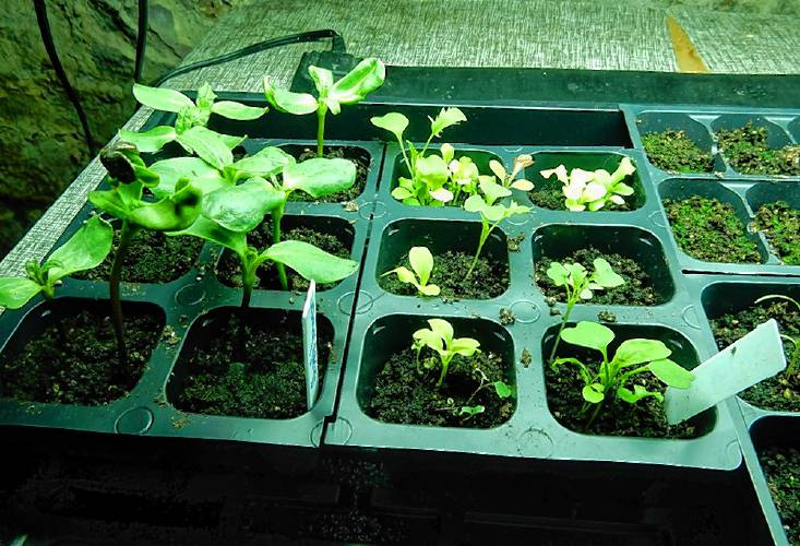 The Recorder Starting Seeds Indoors